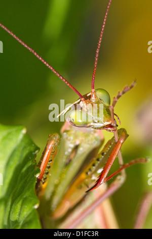 Insecte mante religieuse Mantis religiosa, palefreniers, antenne et pied Banque D'Images