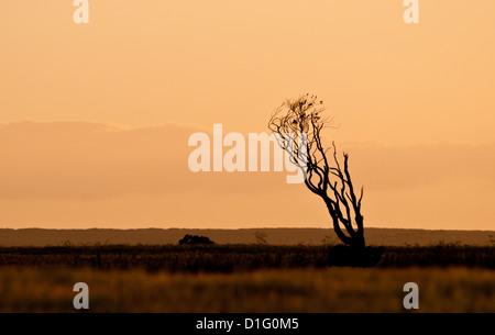 Mourir seul arbre, soulevée par le vent, silhouetté contre le ciel du soir. Banque D'Images