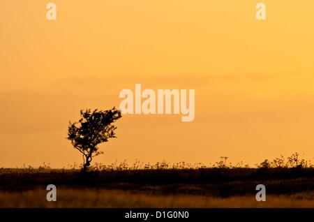 Le seul arbre, silhouetté contre le ciel du soir. Banque D'Images
