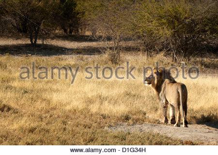 Lion (Panthera leo), Namibie, Afrique Banque D'Images