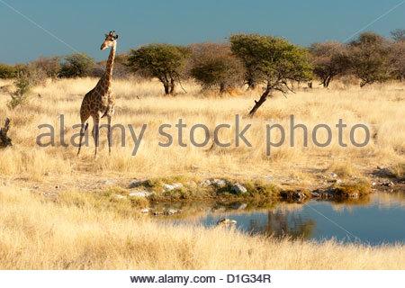 Girafe (Giraffa camelopardis) à trou d'eau, l'animal le plus grand du monde, Etosha National Park, Namibie, Afrique Banque D'Images
