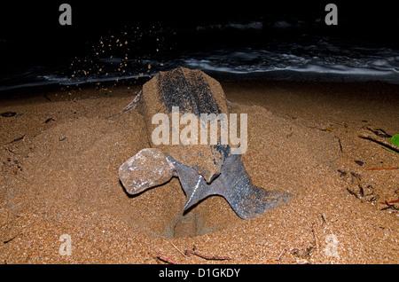 Tortue luth (Dermochelys coriacea) d'excaver un nid, Shell Beach, au Guyana, en Amérique du Sud