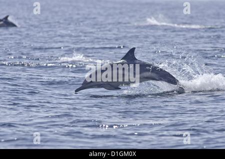 Dauphin commun (Delphinus delphis), Sound of Mull, Hébrides intérieures, Ecosse, Royaume-Uni, Europe