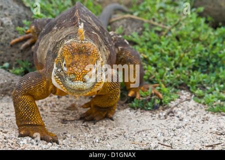 Iguane terrestre des Galapagos (Conolophus subcristatus), de l'île Seymour Nord, îles Galapagos, UNESCO World Heritge Site, Equateur