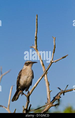 Mockingbird Mimus parvulus (Galapagos), l'île de Genovesa, îles Galapagos, UNESCO World Heritage Site, Equateur, Amérique du Sud