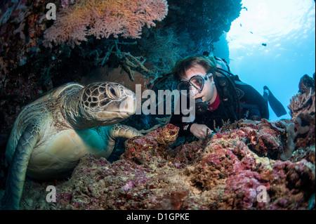 La tortue imbriquée (Eretmochelys imbricata) et plongeur, Sulawesi, Indonésie, Asie du Sud, Asie Banque D'Images