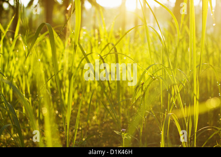 L'herbe verte dans la lumière du matin Banque D'Images