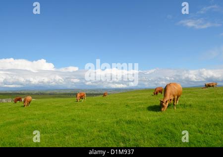 Vaches qui paissent dans la prairie dans un paysage irlandais. Banque D'Images