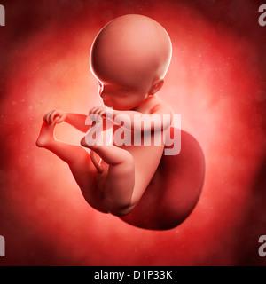 Fœtus à 25 semaines, artwork Banque D'Images