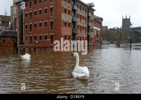 Cygne muet, Cygnus olor, groupe d'oiseau de rues de Worcester inondé par la rivière Sept, Worcestershire, Décembre Banque D'Images