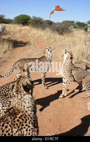 Quatre guépards est concentré sur un Carmine Bee-eater Banque D'Images