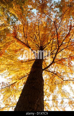 Avis de recherche de Dawn Redwood tree tronc et branches pendant la saison d'automne de couleur jaune doré. Banque D'Images