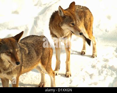 Le loup gris sauvages en hiver