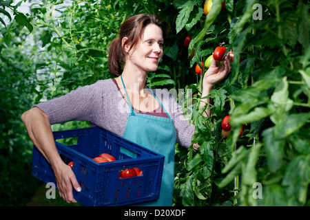 Germany, Bavaria, Munich, young woman harvesting tomatoes in greenhouse Banque D'Images