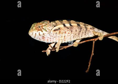 Chameleon assis sur branche avec fond noir Banque D'Images