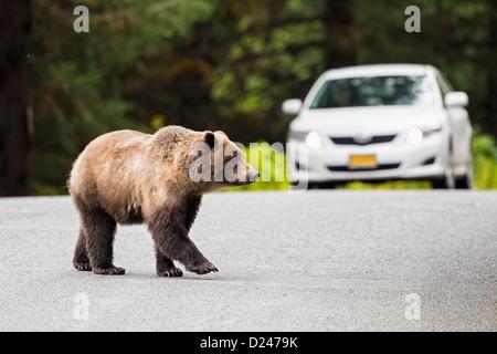 USA, Alaska, l'ours brun crossing Road en face de voiture Banque D'Images