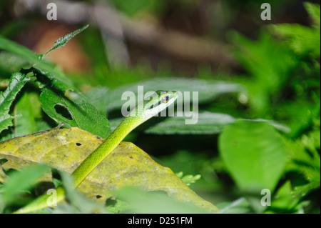 Perroquet vert serpent, ( Leptophis ahaetulla), Costa Rica