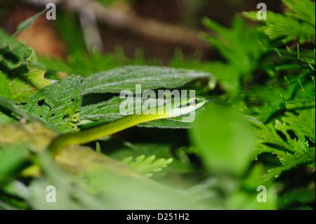 Perroquet vert serpent, Leptophis ahaetulla, Costa Rica