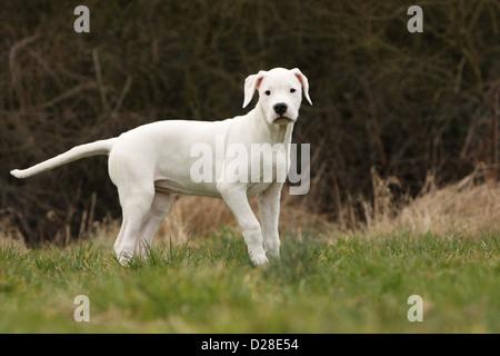 Chien Dogo Argentino / Dogue Argentin (oreilles naturelles) puppy standing Banque D'Images