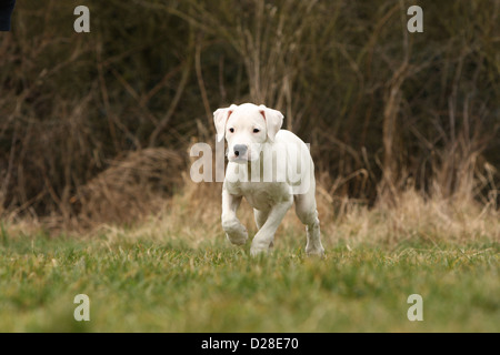 Chien Dogo Argentino / Dogue Argentin (oreilles naturelles) puppy waling Banque D'Images