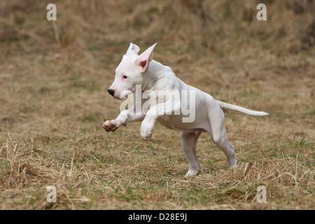Chien Dogo Argentino / Dogue Argentin (oreilles naturelles) puppy running Banque D'Images