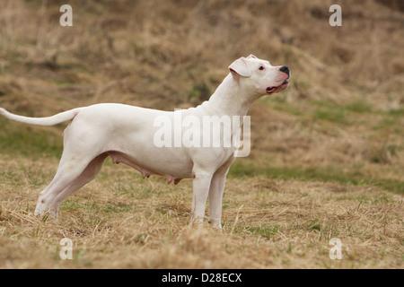 Chien Dogo Argentino / Dogue Argentin (oreilles naturelles) des profils profil standard Banque D'Images