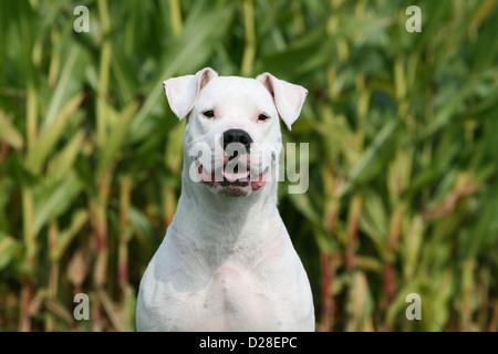 Chien Dogo Argentino / Dogue Argentin (oreilles naturelles) portrait adultes Banque D'Images