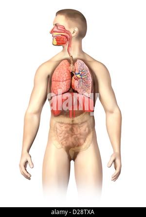 Anatomie de l'homme en coupe du système respiratoire, y compris la bouche. Les autres organes, sont visibles dans Banque D'Images