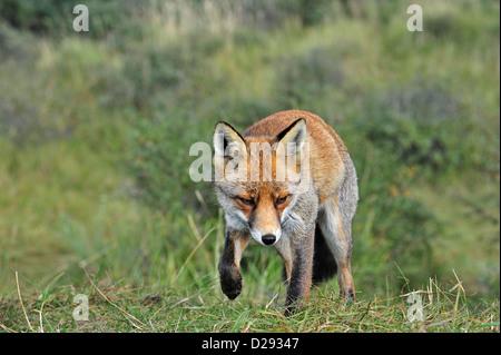 Le renard roux (Vulpes vulpes) traque ses proies dans le pré en suivant scent trail près de la lisière de la forêt Banque D'Images