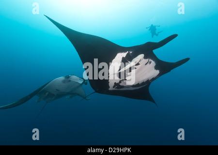 Oceanic géant des raies manta (manta birostris) Nager dans l'archipel de Revillagigedo Mexique, Rocio del Mar, Socorro Banque D'Images