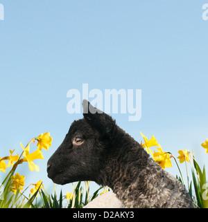 Agneau marche dans champ de fleurs