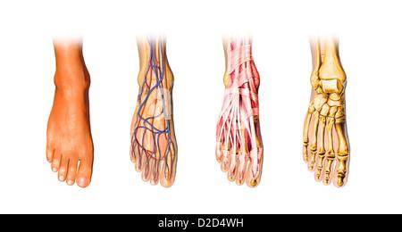 Les droits de l'anatomie du pied de l'oeuvre de l'ordinateur Banque D'Images