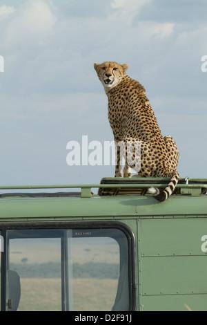 Le guépard assis sur un véhicule de safari dans le Masai Mara au Kenya (Acinonyx jubatus) Banque D'Images