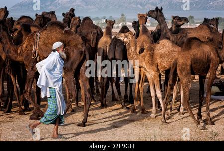 Un éleveur de chameaux durs un troupeau à travers le désert du Thar vers Pushkar pour le salon annuel, Rajasthan, Banque D'Images