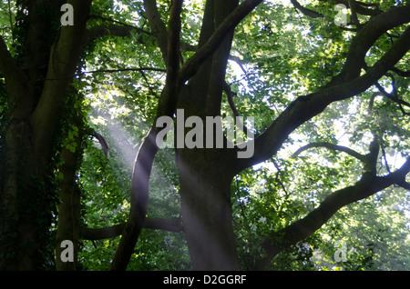 Rayons de soleil à travers des arbres, près de East Grinstead, Forest Row, la Forêt d'Ashdown, Sussex, Angleterre Banque D'Images