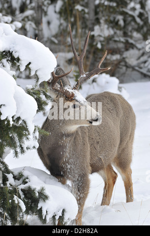 Une mule deer buck debout dans la neige de l'hiver profond Banque D'Images