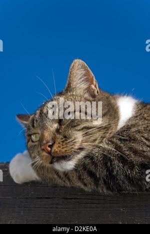 Portrait d'un tomcat sommeillant contre le ciel bleu Banque D'Images