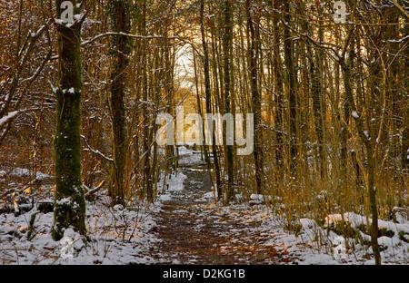 Après-midi d'hiver dans les bois près de Windermere, Parc National de Lake District, Cumbria, Angleterre, Royaume-Uni