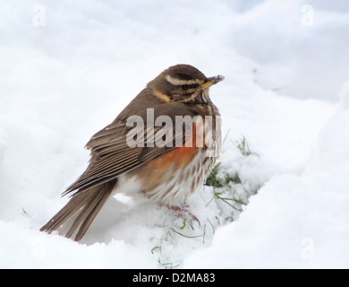 Close-up détaillé d'un modèle Redwing (Turdus iliacus) dans la neige Banque D'Images