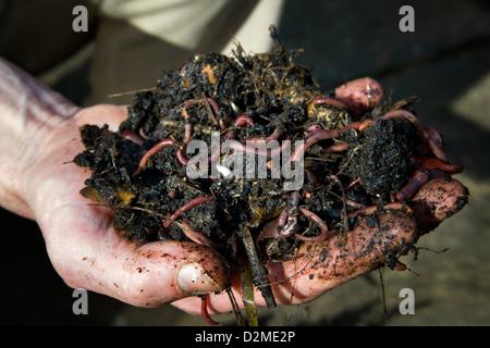 Close up of a mans hand holding vers de terre fraîchement creusé dans le sol de compost Banque D'Images