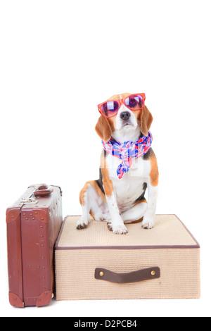 Chien beagle avec valises comme concept pour voyager sur des vacances ou vacances Banque D'Images