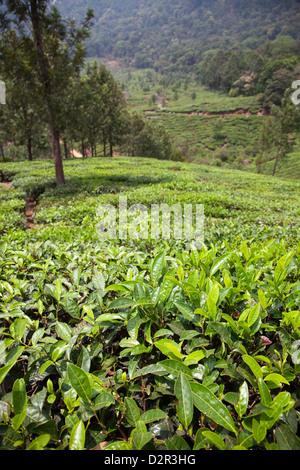 La plantation de thé dans les montagnes de Munnar, Kerala, Inde, Asie Banque D'Images