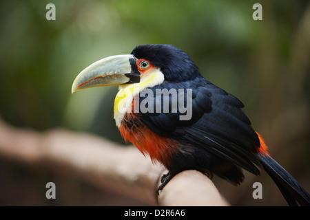 Toucan à ventre rouge du Parque das Aves (Parc des Oiseaux), Iguacu, Parana, Brésil, Amérique du Sud Banque D'Images