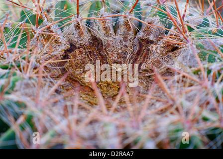 Ferocactus wislizenii - Arizona Barrel Cactus, également connu sous le nom de cactus, Candy Fishhook Barrel Cactus Banque D'Images