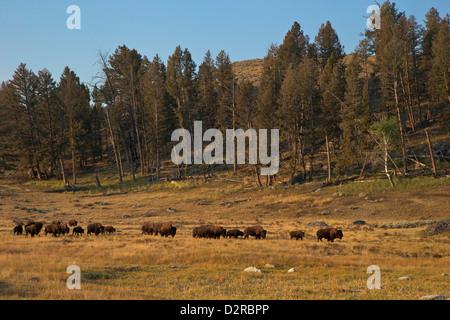 Dans le troupeau de bisons soleil du matin, Lamar Valley, le Parc National de Yellowstone, Wyoming, USA