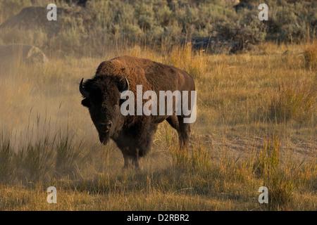 Bison à la vallée de Lamar, Yellowstone National Park, Wyoming, USA