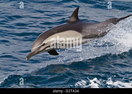 Dauphin commun à long bec (Delphinus capensis), Isla San Esteban, Golfe de Californie (Mer de Cortez), Baja California, Banque D'Images