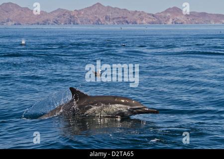 Dauphins communs à long bec (Delphinus capensis), Isla San Esteban, Golfe de Californie (Mer de Cortez), Baja California, Banque D'Images