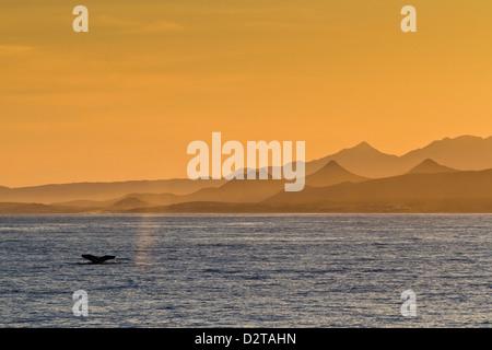 Baleine à bosse (Megaptera novaeangliae) la douve, Golfe de Californie (Mer de Cortez), Baja California Sur, au Banque D'Images