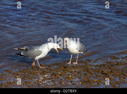Paire de Goéland argenté Larus argentatus appelant à l'autre